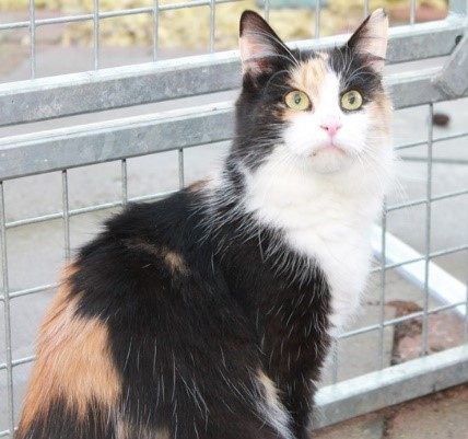 Kitty – 5-6 years old, female, long haired Calico